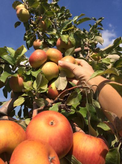 Appelsplukken!